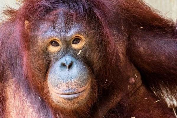 Pony l'orangutan e i bordelli per zoofili