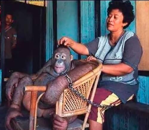 Pony l'orangutan e la sua pappona