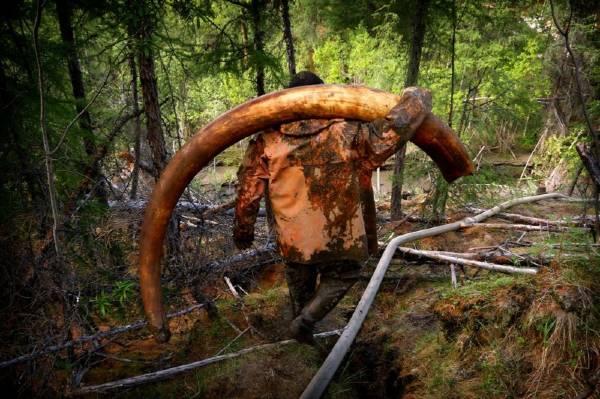 zanna di mammut gigante